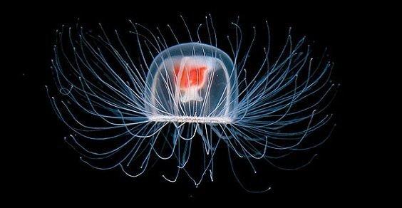 Il segreto dell'immortalità è racchiuso in una piccola medusa: turritopsis dohrnii