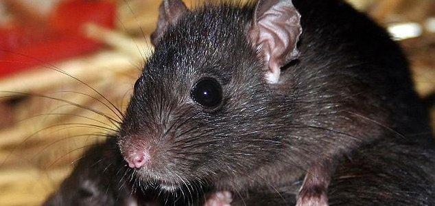Catturato topo gigante di 5 Kg